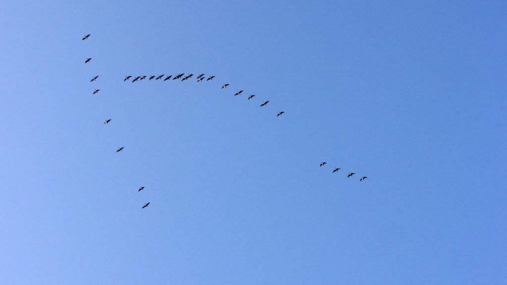 overvliegende-ganzen